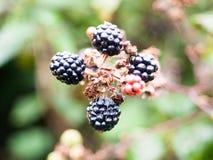 在分支狂放的荆棘悬钩子属植物fruticosus的四个成熟黑莓 库存照片