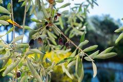 在分支的一些个橄榄 免版税库存图片