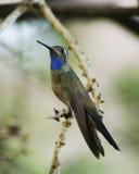 在分支的一只公青红喉刺莺的蜂鸟 图库摄影