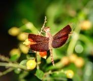 在分支的一只红色蜻蜓 免版税库存照片