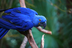 在分支的一只靛蓝色金刚鹦鹉 免版税图库摄影