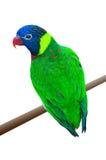 在分支的一只绿色鹦鹉 库存照片
