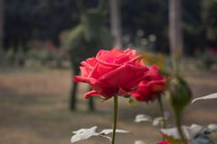 在分支的一朵唯一红色玫瑰 库存图片