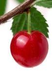 在分支的一棵felted樱桃隔绝了白色背景 库存照片