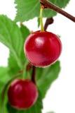 在分支的一棵felted樱桃隔绝了白色背景 免版税图库摄影