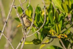 在分支的一群棕榈鸣鸟 免版税库存照片