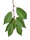 在分支的七片绿色叶子 免版税库存照片