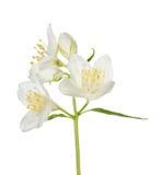 在分支的三朵白色茉莉花花 免版税库存图片