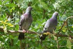 在分支的两三只鸽子 免版税库存图片