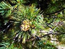 在分支的两个小绿色西伯利亚雪松锥体 库存图片