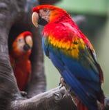 在分支的两只大红蓝色黄色鹦鹉金刚鹦鹉 免版税库存照片