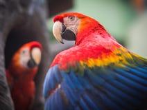 在分支的两只大红蓝色黄色鹦鹉金刚鹦鹉 库存图片