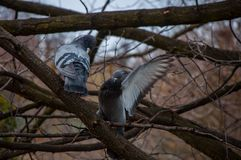 在分支的两只鸽子 免版税库存图片