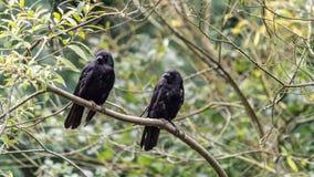 在分支的两只黑乌鸦 免版税库存照片