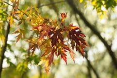 在分支的五颜六色的秋叶 免版税图库摄影