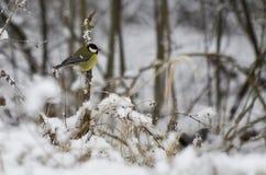 在分支的伟大的山雀北美山雀 免版税图库摄影