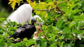 在分支的公美洲蛇鸟&在巢的两只小鸡 免版税库存照片