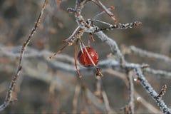 在分支的冬天莓果 免版税库存照片