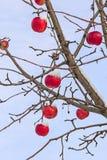 在分支的冰冷的红色苹果反对天空 库存照片