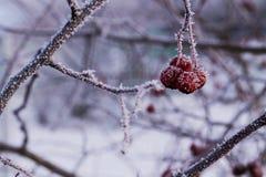 在分支的冷冻红色莓果 库存照片