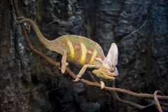 在分支的变色蜥蜴外形 库存照片