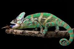 在分支的变色蜥蜴,变色蜥蜴,爬行动物 免版税库存图片