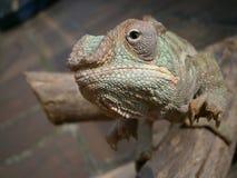 在分支的变色蜥蜴 免版税库存图片