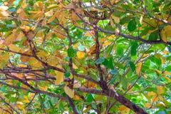 在分支的叶子,将转动黄色在秋天 图库摄影