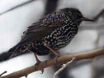 在分支的啄木鸟黑色 图库摄影