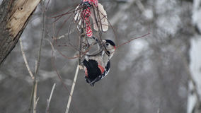 在分支的啄木鸟 免版税库存照片