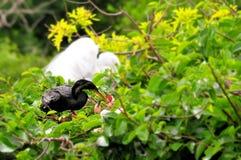 在分支的在巢的美洲蛇鸟&小鸡在沼泽地 图库摄影