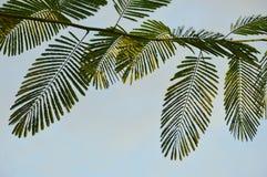 在分支的复叶在天空背景中 免版税库存图片