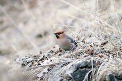 在分支的太平鸟没有叶子 图库摄影