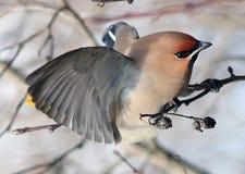 在分支的太平鸟没有叶子 库存图片
