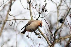 在分支的太平鸟没有叶子 库存照片