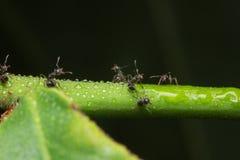 在分支的宏观蚂蚁 库存照片