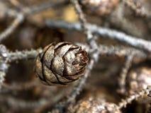 在分支的小杉木锥体 免版税库存照片