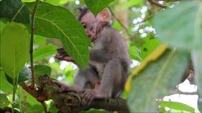 在分支的小的猴子在一个神圣的猴子森林里 影视素材