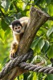 在分支的小的猴子 免版税库存图片