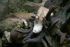在分支的小纳卡人动物 免版税库存图片