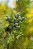 在分支的小绿色芽在春天 库存照片