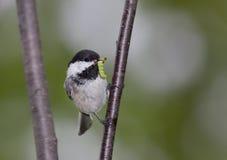 在分支的山雀栖息处 免版税库存图片