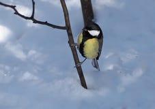 在分支的山雀黄色开会在雪地面附近 免版税库存图片