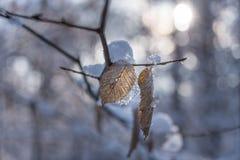 在分支的干叶子在冬天 免版税库存图片