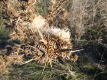 在分支的干燥多刺的叶子在沙漠背景中 免版税库存图片