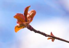 在分支的年轻红色叶子在春天 图库摄影