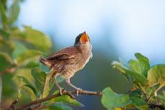 在分支的幼鸟 图库摄影