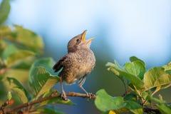 在分支的幼鸟 免版税库存图片