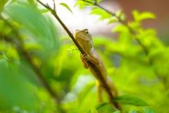 在分支的庭院蜥蜴在绿色口气背景,非常浅d中 图库摄影