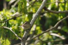 在分支的庭院鸣鸟 免版税库存图片